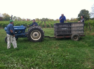 Harvesters at Hosmer Winery, in Ovid, New York, check out the Chardonnay grapes they harvested Thursday afternoon.