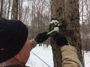 Dan Beasley, of Sweet Trees Maple, hammers a tap into place.